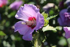 Garteneibisch / Roseneibisch 'Purple Pillar' ®