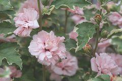 Garteneibisch / Roseneibisch 'Sugar Tip ®' Rose of Sharon
