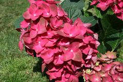 Ballhortensie 'Green Shadow' �