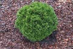 Gartenzypresse 'Green Globe'