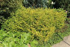 Gelber Bergilex 'Golden Gem' / Gelbe Japanstechpalme 'Golden Gem'