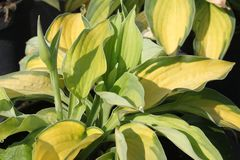 Gelbgrüne-Funkie 'Gold Standard'