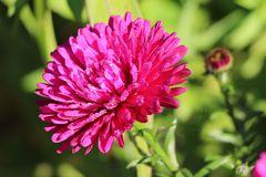 Glattblatt-Aster 'Royal Ruby'