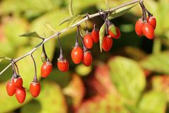 Gojibeere / Gemeiner Bocksdorn / Teufelszwirn 'Big Lifeberry ®'