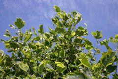 Goldgelber Tulpenbaum