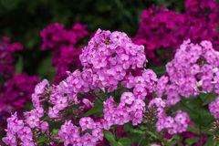 Großblättrige Flammenblume 'Pink Lady'