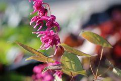 Großblütige Elfenblume 'Rose Queen'