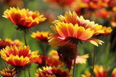 Großblumige Kokardenblume 'Kobold'