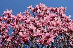 Großblumige Magnolie 'Galaxy'