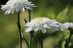Großblumige Margerite 'Wirral Supreme'