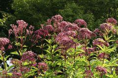 Großer Wasserdost 'Purple Bush'