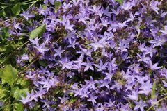 Hängepolster-Glockenblume