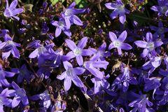 H�ngepolster-Glockenblume 'Stella'
