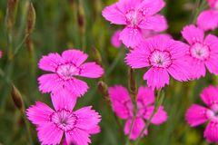 Heide-Nelke 'Roseus'