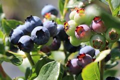 Heidelbeere 'Blueray'