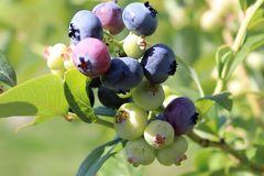 Heidelbeere 'Bluetta'