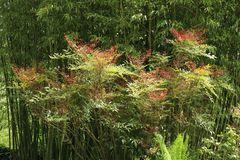 Heiliger Bambus / Himmelsbambus