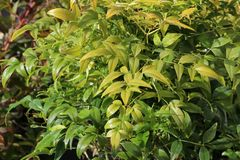 Heiliger Bambus / Himmelsbambus 'Magical Lemon an Lime' ®