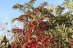 Herbst-Vogelbeere / Eberesche 'Autumn Spire'