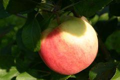 Herbstapfel 'Ahrista'