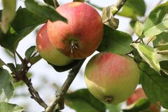 Herbstapfel 'Ariwa'