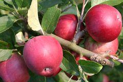 Herbstapfel 'Berner Rosenapfel'