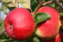 Herbstapfel 'Brautapfel'