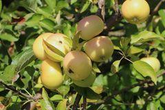 Herbstapfel 'Croncels',  'Glasapfel'