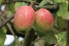 Herbstapfel 'Doppelter Prinzenapfel'