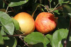 Herbstapfel 'Dülmener Rosenapfel'