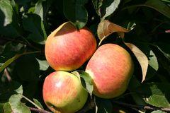 Herbstapfel 'Elstar'