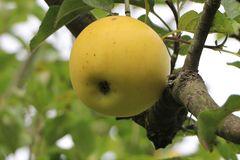 Herbstapfel 'Gelber Edelapfel' / 'Zitronenapfel'