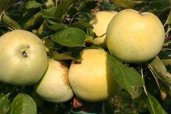 Herbstapfel 'Gelber Richard', 'Grand Richard'