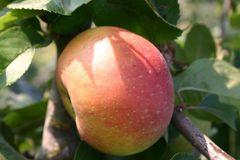 Herbstapfel 'Goldrenette von Blenheim'