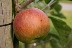Herbstapfel 'Himbeerapfel von Holowaus'