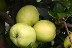 Herbstapfel 'Holsteiner Zitronenapfel'