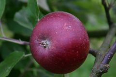 Herbstapfel 'Ingrid Marie'