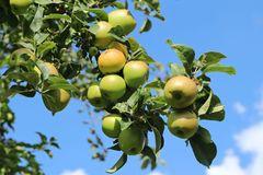 Herbstapfel 'Pannemanns Tafelapfel'