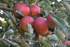 Herbstapfel 'Pia'