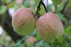 Herbstapfel 'Prinzenapfel' / 'Melonenapfel' / 'Haferapfel'