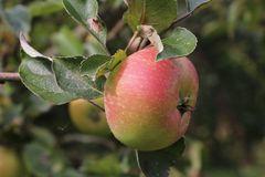 Herbstapfel 'Recolor' ®