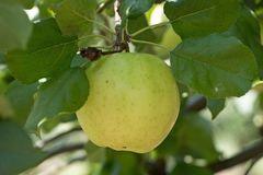 Herbstapfel 'Relinda' ®