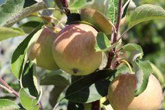 Herbstapfel 'Resi' ®