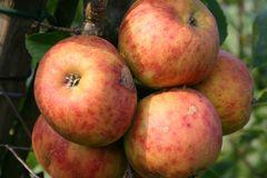 Herbstapfel 'Rubinette' ®, 'Rafzubin'