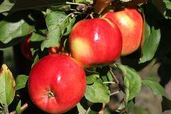 Herbstapfel 'Teser'