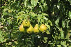 Herbstbirne 'Feuchtwanger Butterbirne'
