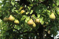 Herbstbirne 'Gellerts Butterbirne', 'Beurré Hardy'