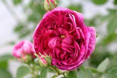 Historische Rose 'Charles de Mills'