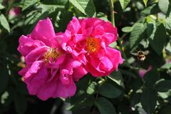 Historische Rose 'Gallica Officinalis'