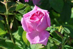 Historische Rose 'Mme Boll'